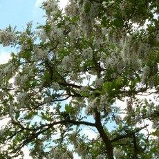 White acacia bis