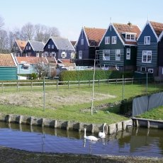 Swans on the small canals of Marken