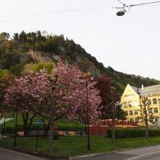 Cherry blossom in Ålesund