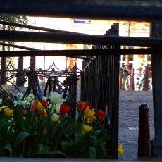 Between tulips