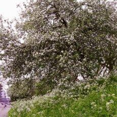 Spring Blossom 15