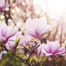 Spring Blossom 17