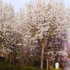 Spring Blossom 18