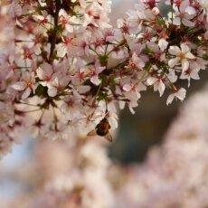 Spring Blossom 19