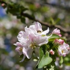 Spring Blossom 21 - Apple tree