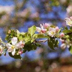 Spring Blossom 22  - Apple tree
