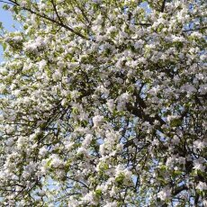Spring Blossom 23 - Apple tree