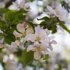 Spring Blossom 25  - Apple tree
