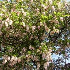 Spring Blossom 26 - Pink Acacia