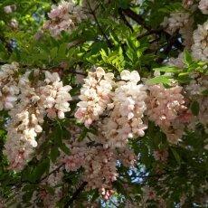 Spring Blossom 27 - Pink Acacia