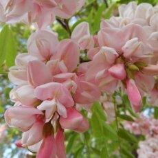 Spring Blossom 28- Pink Acacia