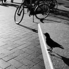 Bird - Amsterdam
