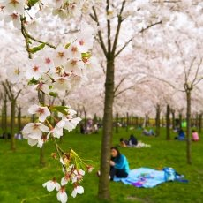 Focusing on the cherry blossoms