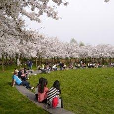 Amsterdamse Bos Cherry Blossom Park