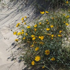 Dunes vegetation 12