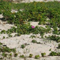 Dunes vegetation 13