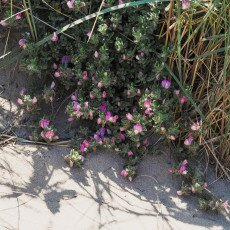 Dunes vegetation 15
