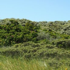 Dunes vegetation 20