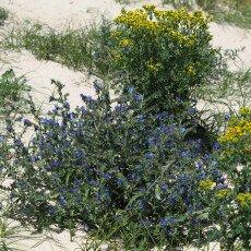 Dunes vegetation 18
