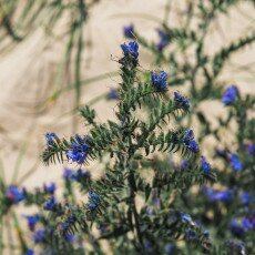 Dunes vegetation 19
