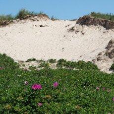 Dunes vegetation 26