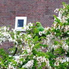 A green parakeet at my window