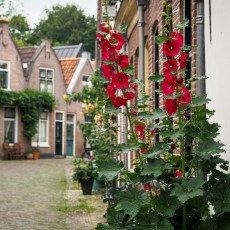 Hollyhocks on a street in Alkmaar