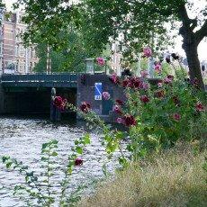 Hollyhocks on a canal in Amsterdam