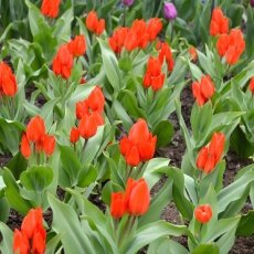 Multiple-head tulips