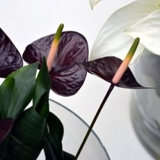 Dark Anthurium