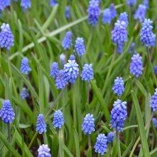 Mouse Hyacinths
