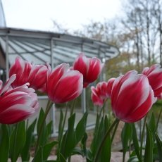 Tulips in the wind