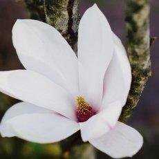 Magnolia portraits 02