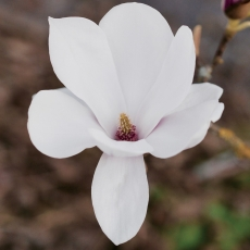 Magnolia portraits 03