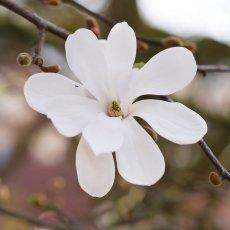 Magnolia portraits 12