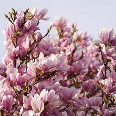 Magnolia portraits 17