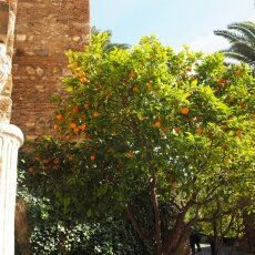 Orange trees at Alcazaba