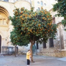 Orange tree next to the cathedral