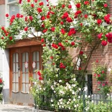 Oud-Zuid Roses 01