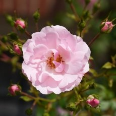 Oud-Zuid Roses 05
