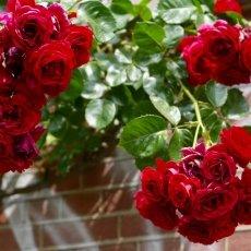 Oud-Zuid Roses 06