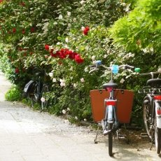 Oud-Zuid Roses 09