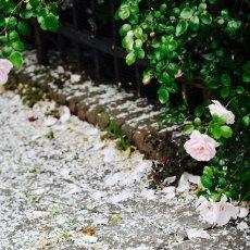 Oud-Zuid Roses 11