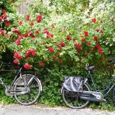 Oud-Zuid Roses 17