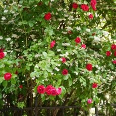 Oud-Zuid Roses 12
