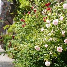 Oud-Zuid Roses 32