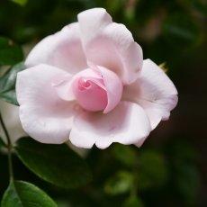 Oud-Zuid Roses 14