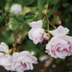 Oud-Zuid Roses 31