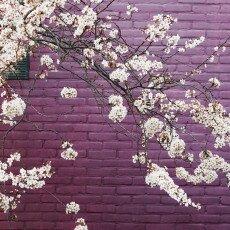 Cherry Blossom Alkmaar 01