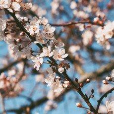 Cherry Blossom Alkmaar 03